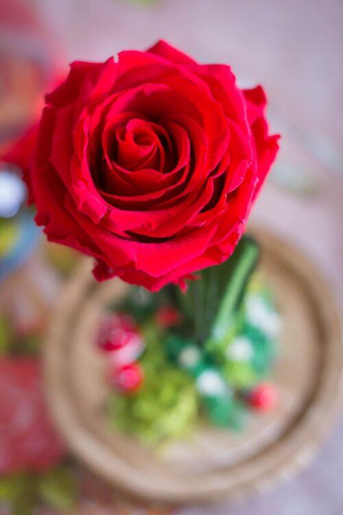 trandafir-criogenat-in-cupola-rosu